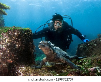 Scuba diver observes Marine Iguana (Amblyrhynchus cristatus) .