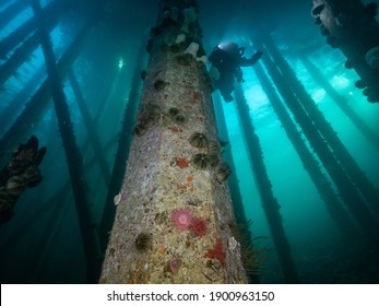 A scuba diver on a rebreather swimming through the pilings of a dock or jetty underwater off Vancouver Island, British Columbia, Canada.