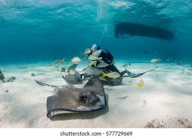 SCUBA diver playing with Stingrays in shallow water