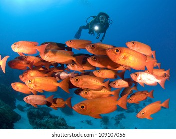 SCUBA Diver and school of bright red fish
