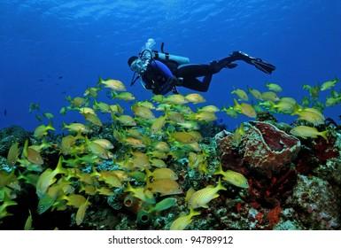 Scuba Diver and School of French Grunts (Haemulon flavolineatum) - Cozumel, Mexico