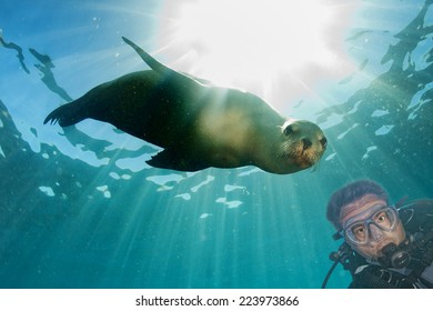 Scuba diver and Sea Lion Seal looking at you underwater