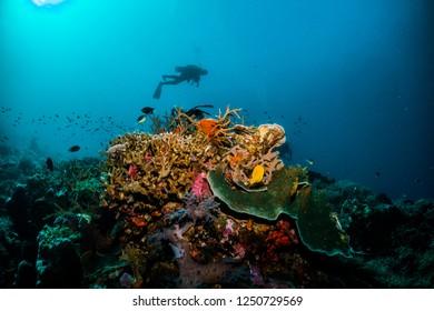 Scuba diver silhouette above colourful coral reef, Indonesia