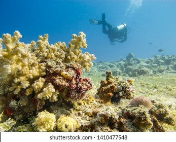 Scuba diver swimming above the coral reef at dive site Bannerfish Bay in Dahab, Egypt.