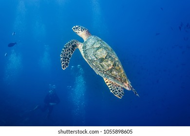 scuba diver watches hawksbill turtle with elegant patterns on fins and shell swimming in blue ocean