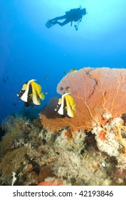 SCUBA Diver yellow sea fan and tropical fish