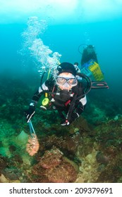 SCUBA divers collect invasive, damaging Crown of Thorns Starfish from a coral reef