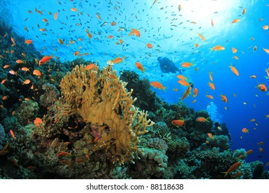 Scuba Divers exploring a coral reef with tropical fish