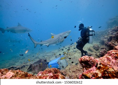 Scuba divers interacting and hand feeding bull and silver tip reef sharks while on deep dive in tropical blue waters of Fiji