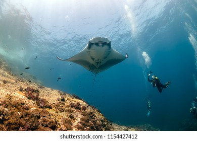 SCUBA divers photographing a huge Oceanic Manta Ray as it swims next to a tropical coral reef
