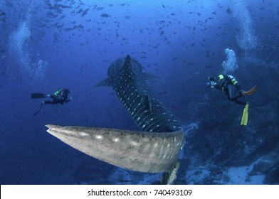 Scuba divers swim alongside a whale shark as it swims by, Cocos Island, Costa Rica.