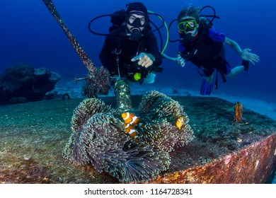 SCUBA divers watching a family of False Clownfish on a tropical coral reef