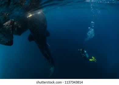 Scuba diving around whalesharks in Cenderawasih Bay, Indonesia