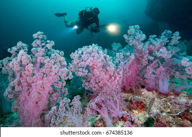 Scuba diving and camera in hand with Colorful soft corals pink color (Dendronephthya sp.) at Andaman sea ,Thailand