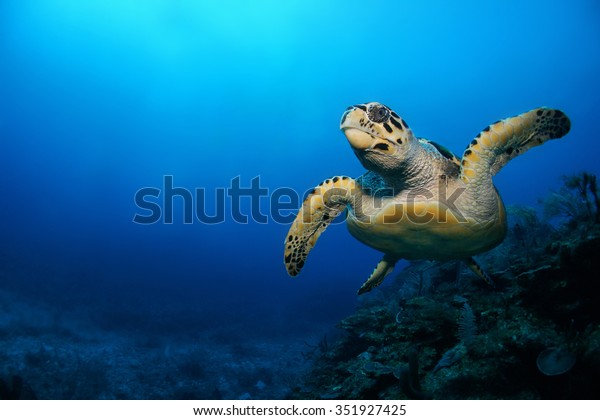 Scuba diving in the Caribbean, Hawksbill turtle, Eretmochelys imbricata, swimming over the coral reef, Riviera Maya, Mexico