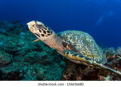 Scuba diving in indonesia with hawksbill turtle