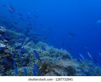 Scuba Diving in Rabaul , Big Pigeon Wall .  Papau New Guinea .