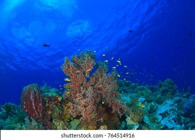 Scuba Diving at Tukang Besi/Wakatobi Archipelago Marine Preserve, South Sulawesi, Indonesia, S.E. Asia