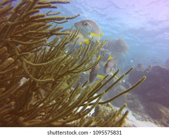 Scuba diving views in Belize; sting ray and nice colorful corals under water in Carribean Sea