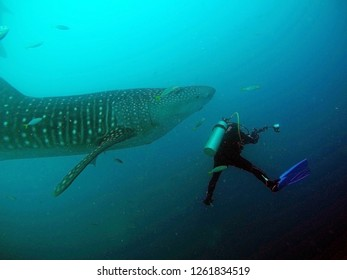 Scuba diving with whale shark in the Botubarani sea in Gorontalo Island, Sulawesi, Indonesia. On Saturday, July 30, 2016.