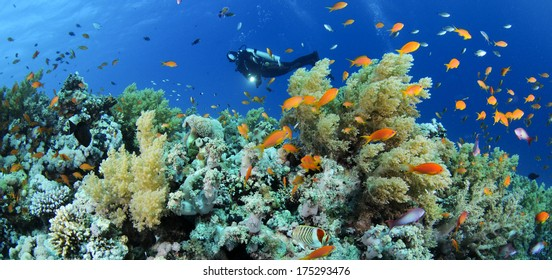 Scubadiver observing rich colorful coral reef in Red Sea.