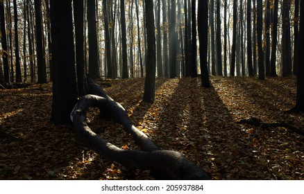 sculture nature - shadow and beech trunks