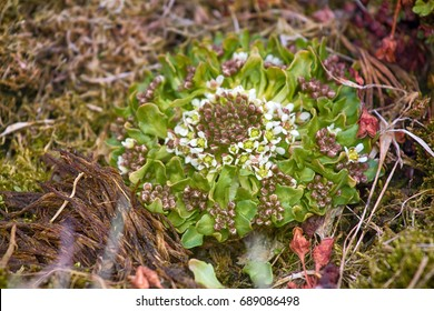 Scurvy grass (Cochlearia groenlandica, biannual sample) mountain phenotype, late flowering. Franz Joseph Land. Isl Northbrook. This famous herb cured from deadly scurvy thousands of Northern explorers