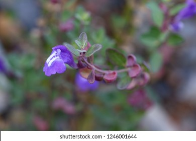 Scutellaria is a genus of flowering plants in the mint family, Lamiaceae. They are known commonly as skullcaps