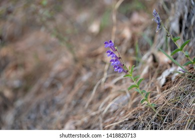 Scutellaria hypericifolia plant. Scutellaria is a genus of flowering plants in the mint family, Lamiaceae.They are known commonly as skullcaps. A kind of traditional Chinese medicinal.