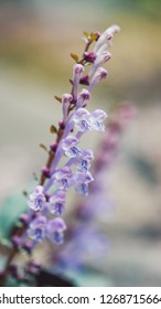 Scutellaria indica flower, is known commonly as skullcap. 16:9 mobile phone wallpaper