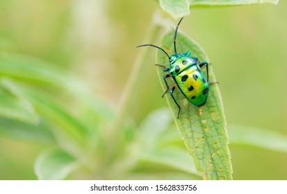Scutelleridae is a family of true bugs. They are commonly known as jewel bugs or metallic shield bugs due to their often brilliant coloration.