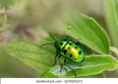 Scutelleridae is a family of true bugs. They are commonly known as jewel bugs or metallic shield bugs due to their often brilliant coloration. They are also known as shield-backed bugs.