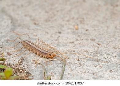Scutigera coleoptrata (house centipede)