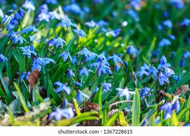scylla, blue garden,  prolisk, spring flowers background