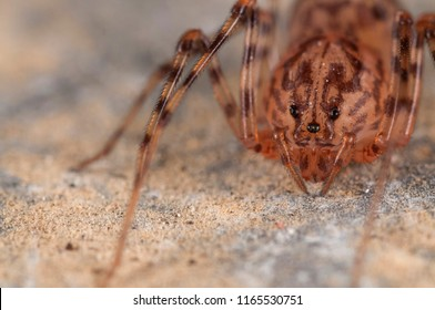 Scytodes thoracica (spitting spider)