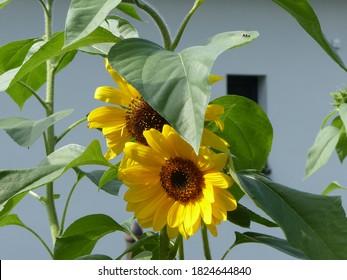 velké žluté slunečnice se zelenými listy - Shutterstock ID 1824644840