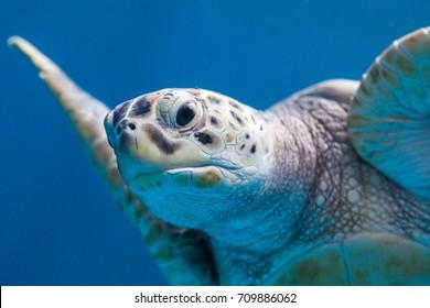 sea ??turtle
