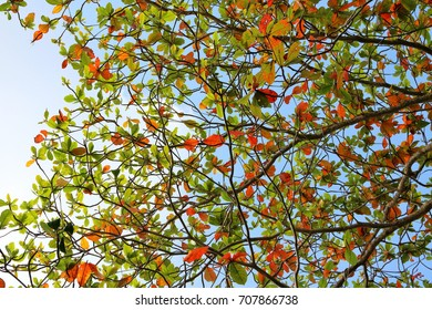 Sea Almond tree leaves turning red and yellow before shredding the old leaves