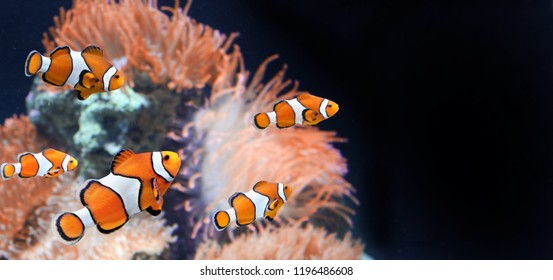 Sea anemone and clown fish in marine aquarium on black background. Mock up template. Copy space for text