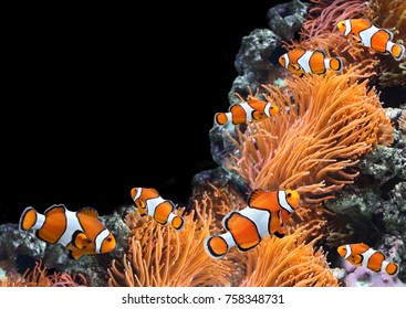 Sea anemone and clown fish in marine aquarium. Isolated on black background. Copy space for your text