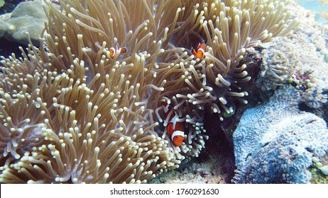 Sea anemone and clown fish on the coral reef, tropical fishes. Underwater world diving and snorkeling on coral reef. Hard and soft corals underwater landscape