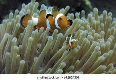 Sea anemone and clown fish in Tioman Island, Malaysia. With black background.