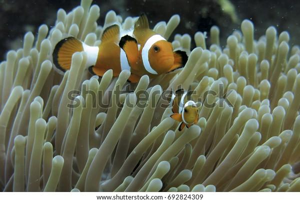 Sea Anemone Clown Fish Tioman Island Stock Photo (Edit Now