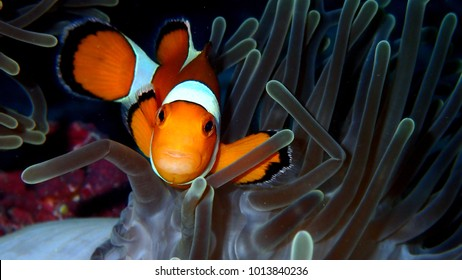 Sea anemone and clownfish or nemo