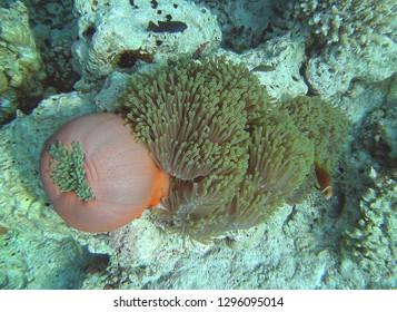 Sea Anemone Malediven