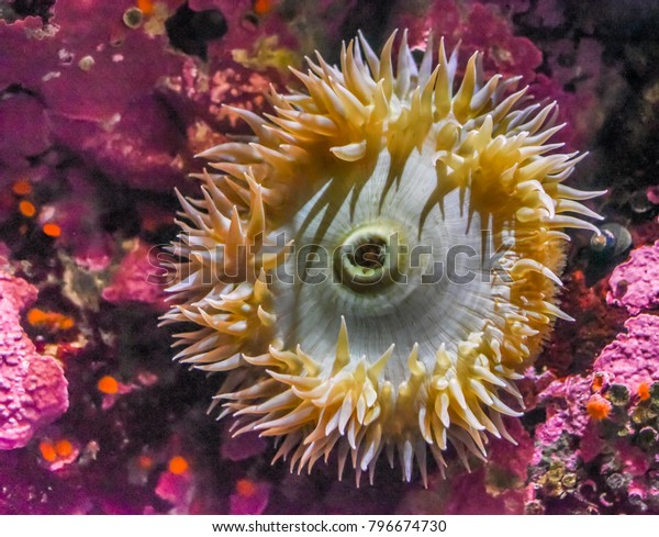 An sea anemone on the Pacific Ocean sea floor with colorful pink coralline algae.