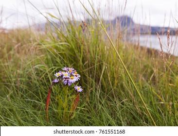 Sea aster (Tripolium pannonicum) flowering at Norwegian coast