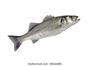 Sea Bass Fish (Dicentrarchus labrax) Isolated on White