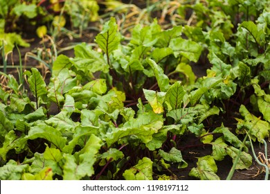 Sea beet, Beta vulgaris subsp. maritima, beetroot, table, garden, red, or golden beet, beet greens are green leaves with veins growing from a root crop in the ground. Sea beet bright green leav