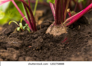 Sea beet, Beta vulgaris subsp. maritima, beetroot, table, garden, red, or golden beet, beet root crop in the ground on the garden. Beets in the garden. Good harvest beets.